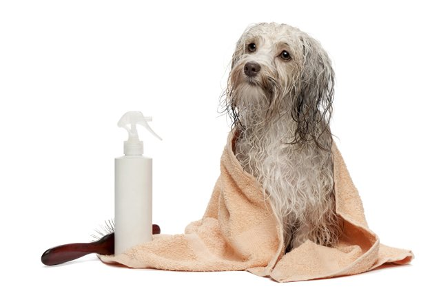 Washing a dog to help manage pet allergies